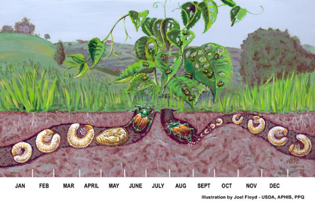 Japanese Beetle life cycle